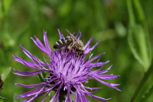 bičių,knapweed,centaurea jacea,turėjo knapweed,surinkti,žiedas,žydėti,rinkti žiedadulkes,rinkti medų,rinkti nektarą,Uždaryti,vabzdys,apdulkinimas