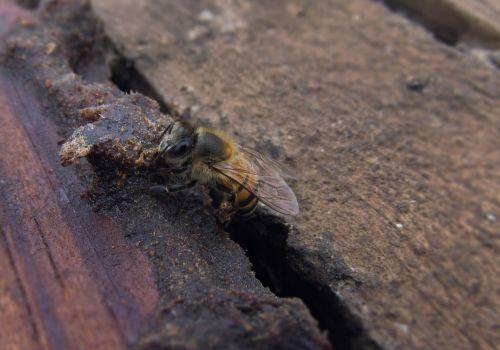 bičių,medaus BITĖ,vabzdys,bitininkystė,bitininkystė,Mellifera,avilys,apdulkinimas