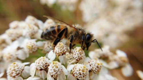 bičių,augalas,makro,gamta,sodas,gėlė,pašaras,vasara,apdulkintojas,vabzdys,medaus BITĖ,maitinimas,žiedadulkės,pavasaris