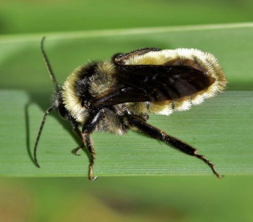 bičių,kamanė,vabzdys,vabzdžiai,išplistų,apdulkinimas,žiedadulkės,sparnuotas vabzdys,skraidantis vabzdys,švelnus vabzdys,šerti,BITĖS įgėlimas,gamta,laukinė gamta,flora,fauna,padaras,botanika,biologija,entomologija,nariuotakojų