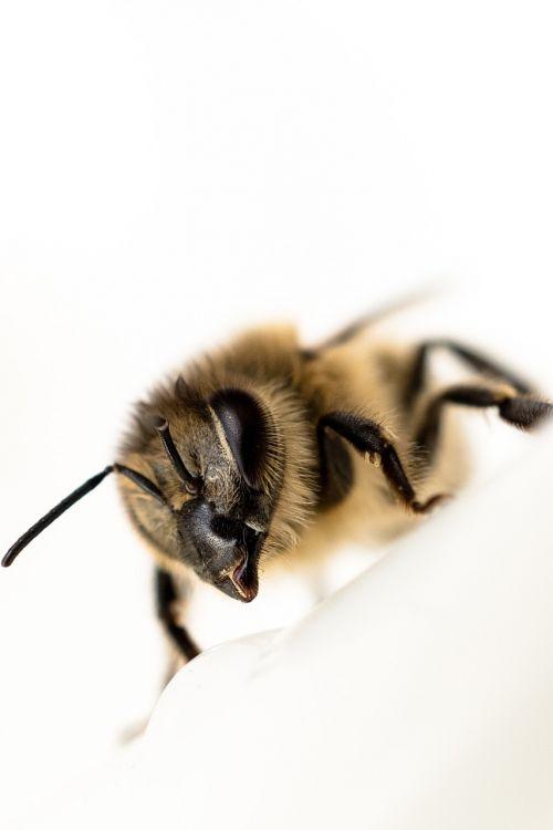 bičių,Uždaryti,vabzdys