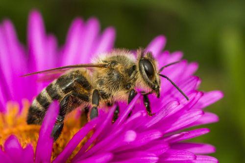 bičių,makro,vabzdys,žiedas,žydėti,gėlė,gamta,violetinė,žiedadulkės,augalas,Uždaryti,bitė ant gėlių