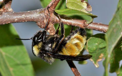 bičių,kamanė,vabzdys,vabzdžiai,išplistų,apdulkinimas,žiedadulkės,sparnuotas vabzdys,skraidantis vabzdys,švelnus vabzdys,šerti,stinger,BITĖS įgėlimas,gamta,laukinė gamta,filialas,lapai,flora,fauna,padaras,gyvūnas,botanika,biologija,entomologija,nariuotakojų