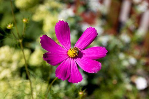 bičių,gėlė,makro,vasara,gamta,vabzdys,apdulkinimas,žiedadulkės,Iš arti,pavasaris,flora,sodas,žalias,žolė