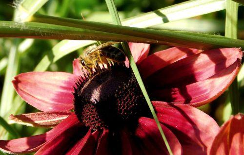 bičių,rinkti nektarą,Uždaryti,vabzdys,žiedas,žydėti,rinkti žiedadulkes,apdulkinimas,žiedadulkės,maistas,pabarstyti,gėlė,rinkti medų,ant gėlės,bitė ant gėlių