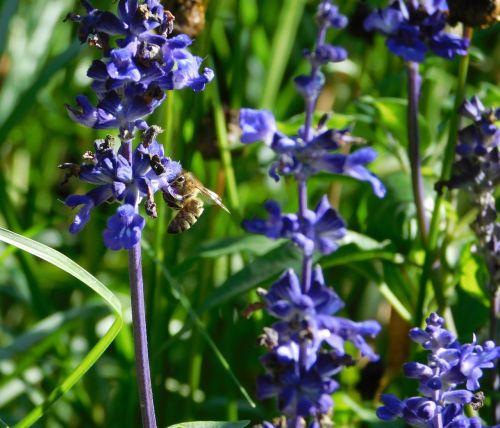bičių,rinkti žiedadulkes,rinkti nektarą,sunkiai dirbantis,apdulkinimas,žiedas,žydėti,Uždaryti,ant gėlės,bitė ant gėlių