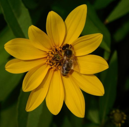 bičių,bitė ant gėlių,ant gėlės,medaus BITĖ,apdulkinimas,žiedas,žydėti,gėlė,rinkti žiedadulkes,Uždaryti,vabzdys,gamta,sunkiai dirbantis,rinkti nektarą,dirbti kruopščiai,gamtos įrašymas,geltona gėlė,vabzdžių žydėjimas,žiedadulkės,apiformes,apis mellifera,apidae,darbas fließig,pabarstyti