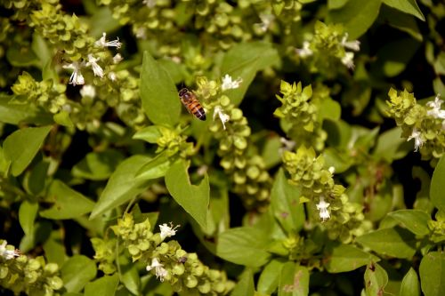 bičių,gamta,bazilikas,makro,pavasaris,sodas,aplinka,gražus,augalas,apdulkinimas,šuniukai,medus,kraštovaizdis,žalias,bitininkystė,vabzdys,gėlės,subtilus gėlių