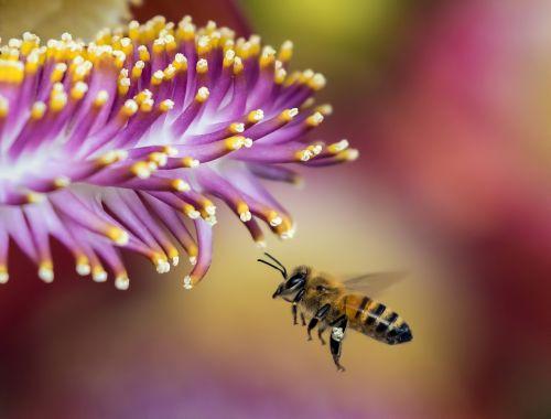bičių,blur,kamanė,Iš arti,flora,gėlė,medaus BITĖ,vabzdys,makro,nektaras,lauke,žiedadulkės,tvirtas,isp