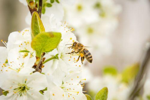 bičių,medaus BITĖ,žiedas,žydėti,vabzdys,apis,gyvūnas,sodas,gėlė,gamta,medus,žiedadulkės,maitinimas,sunkiai dirbantis,apdulkinimas,sparnas,nektaras,geltona,užimtas bičių,vyšnių žiedas,vabzdžių makro,pabarstyti,pavasaris,surinkti,rinkti nektarą,rinkti žiedadulkes,makro