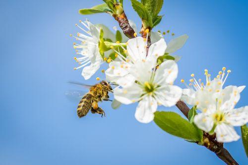bičių,vyšnių žiedas,pavasaris,vaismedis,žiedas,žydėti,gamta,žiedas,medaus BITĖ,medus,žydėti,surinkti,apdulkinimas,pabarstyti,vyšnia,baltas žiedas,vabzdys