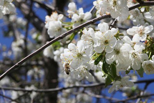 bičių,vyšnia,žydėti,apdulkinimas,vyšnių žiedų,baltos gėlės,pavasaris