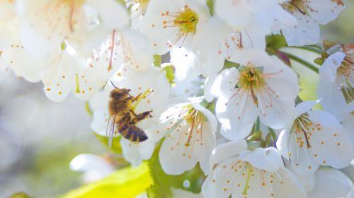bičių,gėlė,žiedas,žydėti,makro,Uždaryti,augalas,žiedadulkės,pavasaris,vyšnių žiedas