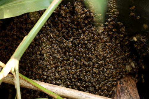 bičių,swarm,šerti