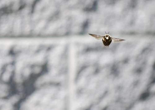 bičių,dailidės bičių,medžio bičių,mediena,vabzdys,gamta,pavasaris,didelis,sparnai