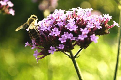 bičių,žiedas,žydėti,vabzdys,gėlė,gamta,apdulkinimas,žiedadulkės,pabarstyti,nektaras,augalas,sodas,medaus BITĖ,gyvūnas,violetinė