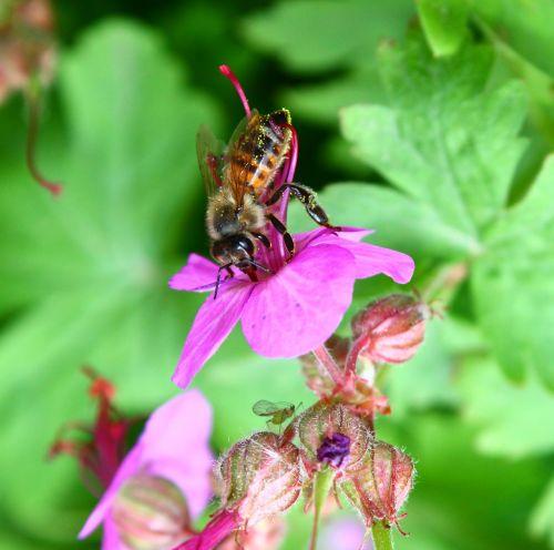 bičių,žiedadulkės,gėlių žiedadulkės,spalva,gėlė,vabzdys,bitės,gamta,vasara,geltona