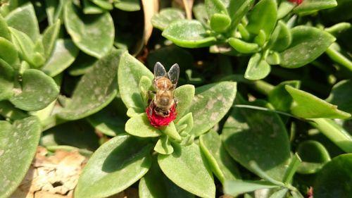 bičių,gamta,grožis,laukas,prairie,vabzdys,sparnuotas vabzdys