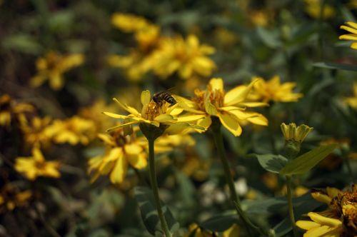 bičių,gėlės,apdulkinimas,medus,Uždaryti,apdulkintojas,medaus BITĖ,sparnai,sodas,nektaras,žiedadulkės,vabzdys,gamta,vasara