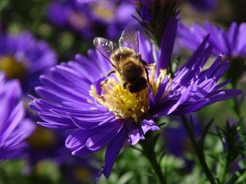 bičių,aster,h,herbstaras,vabzdys,violetinė,vasaros pabaigoje,medaus BITĖ