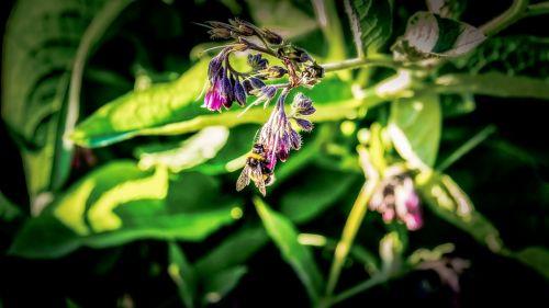 bičių,gėlė,sodas,žiedadulkės,apdulkinimas,nektaras,makro,vabzdys,apdulkinimas