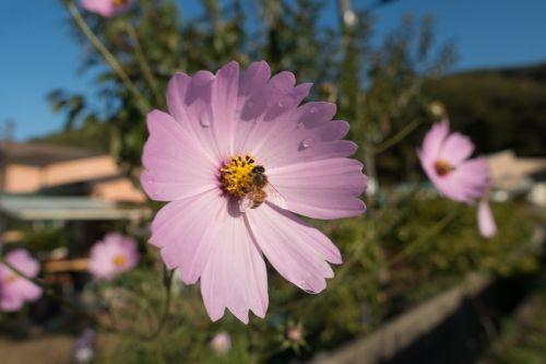 Bičių, Kosmosas, Flora, Gėlė, Žydintis Augalas, Sodo Kosmosas, Augalas, Vandens Lašas, Wildflower
