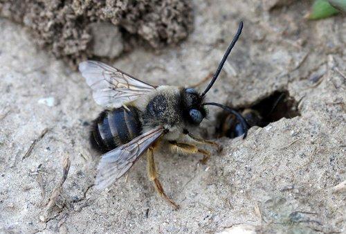 bičių, laukinių, skruzdėlynas, den, žemės
