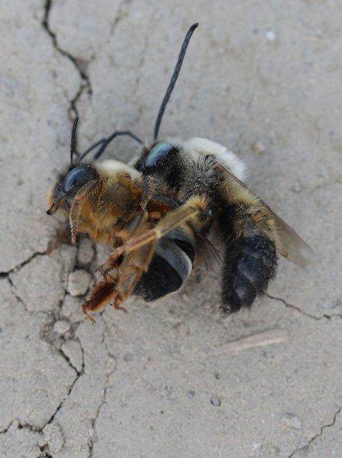 bičių, kova, Insecta, skrydis, Nužudyti, konfrontacija