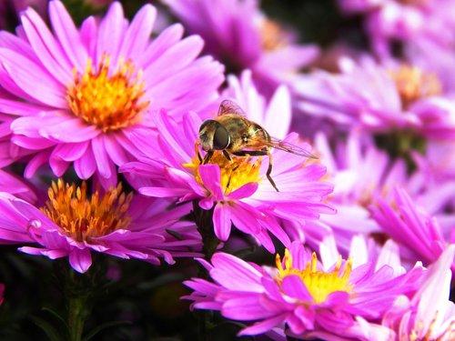 bičių, gėlė, vabzdys, medaus BITĖ, pobūdį, bitės, apdulkinimas, makro, gėlės, pavasaris, žiedadulkės, Būrai, sodas