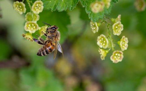 bičių, medaus BITĖ, vabzdys, surinkti žiedadulkes, pavasaris, žiedadulkės, nektaro, surinkti nektarą, apdulkinimas, žydėjimo serbentų, maitinimasis, užimtas bičių, Iš arti, gyvūnas, gamta