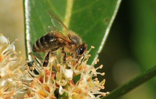 bičių,bitės,makro,gėlė,žiedas,žydėti,vabzdys,augalas,Uždaryti,apdulkinimas,žiedadulkės,vabzdžių makro,bičių makro,gyvūnas,gamta,gėlės,žiedynas,fauna,makro nuotrauka,gyvūnų pasaulis,vabzdžių nuotrauka,makrofotografija,sodas,nektaras,žydėti,gyvūnai