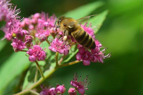 bičių, rinkti, spierstrauch, žiedas, žydi, rožinis, Iš arti, mažas, švelnus, sunkiai dirbantis, užsiėmes, arbeiterinportrait, dryžuotas, rinkti medaus, surinkti nektarą, apdulkinimas, žiedadulkės, rinkti žiedadulkes