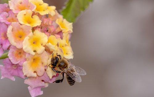 bičių, medaus BITĖ, vabzdys, Verba, Verbena šiltnamio efektą sukeliančių, Verbenaceae, surinkti žiedadulkes, žiedadulkės, rinkti, surinkti nektarą, apdulkinimas, maitinimasis, užimtas bičių, maistą, Iš arti, gyvūnas, gamta