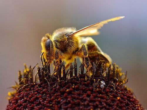 bičių,žiedas,žydėti,žiedadulkės,gėlių nektaras,vabzdys,gamta,gyvūnai,fauna,aplinka,makro,Uždaryti,Iš arti