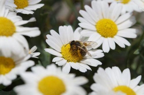 bičių,žiedadulkės,nektaras,Uždaryti,marguerite,apdulkinimas,surinkti,rinkti žiedadulkes,vabzdys,pabarstyti,žiedas,žydėti,rinkti nektarą