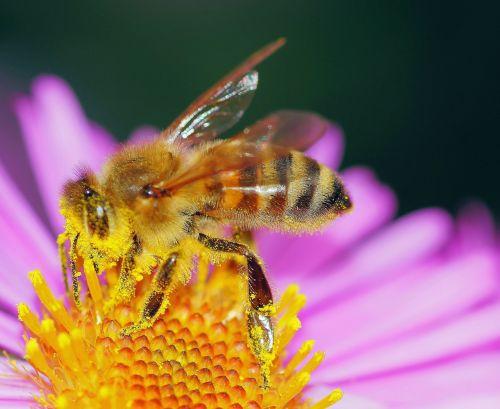 bičių,žiedadulkės,bičių žiedadulkės,žiedas,žydėti,gėlė,augalas,Uždaryti,vasara,geltona,spalvinga