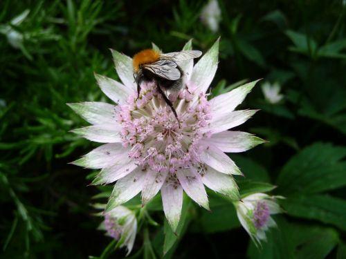 bičių,gėlė,sodas,vabzdys,gamta,vasara,augalas,žiedadulkės,gėlių,lapai,natūralus,žiedlapis,žiedas,išplistų,lauke