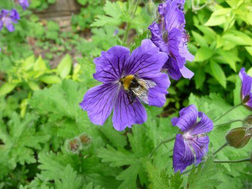 bičių,gėlė,gamta,vabzdys,pavasaris,vasara,sodas,augalas,žiedadulkės,kamanė,botanika,flora,lauke,žiedlapiai,lapija