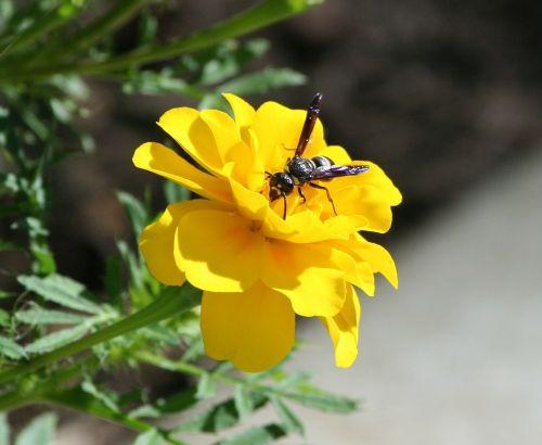 bičių,isp,Hornet,gėlė,marigoldas,sparnas,skristi,kamanė,žiedadulkės,striukė,antena,Buzz,šerti,darbuotojas,skrydis
