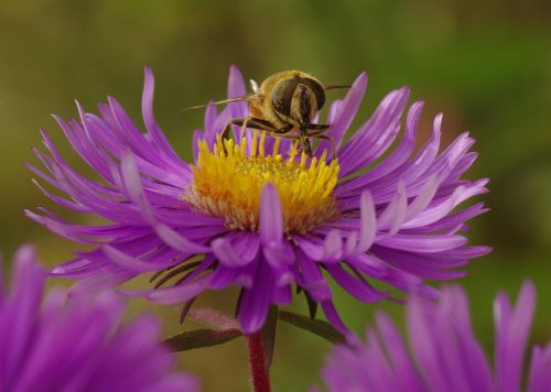 bičių,vabzdys,žiedas,žydėti,aster,violetinė,herbstaras,Uždaryti,makro
