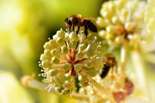 bičių,išplistų,vabzdys,žiedadulkės,apdulkinimas,medus,apdulkinimas,makro,gamta