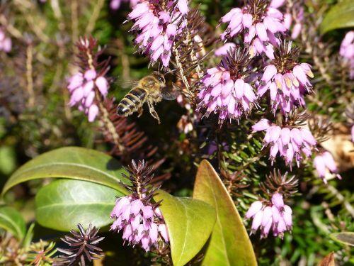 bičių,žiedas,žydėti,gėlė,vabzdys,makro,augalas,pavasaris,apdulkinimas,Uždaryti,medaus BITĖ,vasara,vabzdžių makro,bičių požiūris,vabzdžių žydėjimas,gamta,žiedadulkės,bičių žiedadulkės,nektaras,pabarstyti,violetinė,žydėti