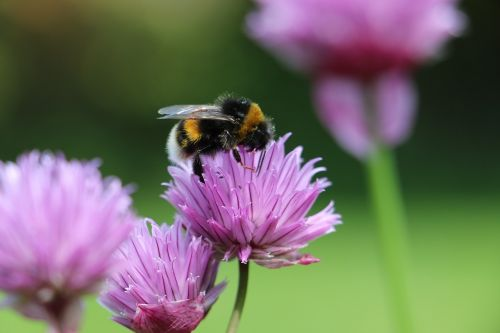 bičių, kamanė, kamanė, gėlė, žiedadulkės, rožinis, žalias, gamta