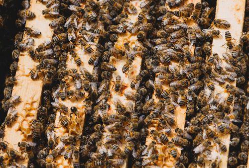 bičių,avilys,vabzdys,avilys,bitininkystė,bitininkas,korio rupiniai