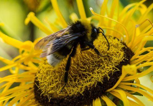 bičių, vasara, žiedas, žydėti, gėlė, vabzdys, rinkti medų, bičių žiedadulkės, gėlių bičių, nektaras, makrokomandas