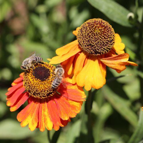 bičių, žiedas, žydėti, surinkti, žiedadulkės, augalas, makro, vabzdys, Uždaryti, gamta, apis, vabzdžių makro