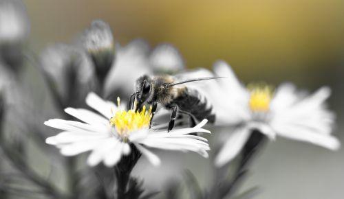 bičių,medaus BITĖ,aster,herbstaras,geltona,juoda ir balta
