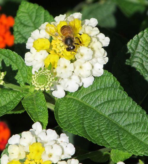 bičių, medus, medaus BITĖ, vabzdys, nektaras, žiedadulkės, gėlė, makro, viešasis & nbsp, domenas, fonas, tapetai, laukinė gamta, profilis, portretas, išplistų, žiedas, gamta, augalas, lantana, česnakai, didelis & nbsp, šalavijas, laukiniai & nbsp, šalavijas, žydėti, bičių rinkimas žiedadulkes