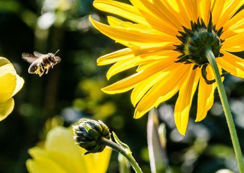 bičių požiūris,bičių,apis,žiedadulkės,geltona,žiedas,žydėti,makro,vabzdys,apdulkinimas