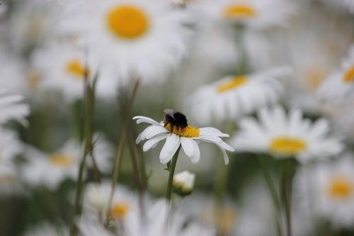 bičių, gėlė, gėlės, žiedadulkės, Daisy, bitė ant daisy